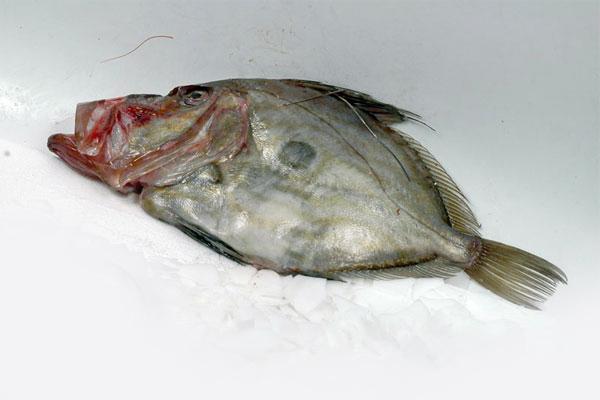 Рыба солнечник купить